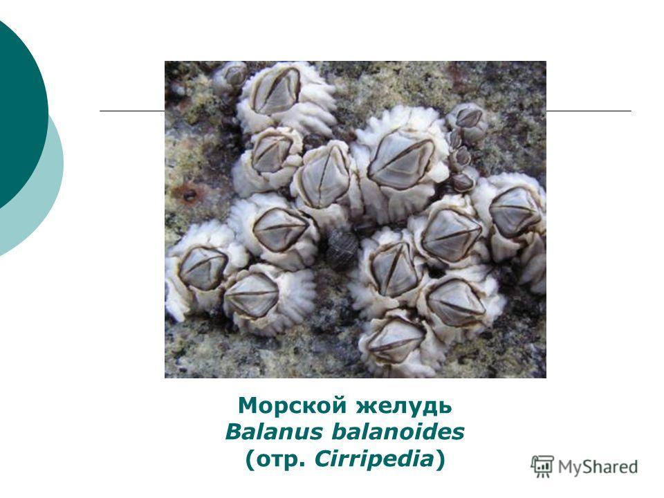 Морской желудь Balanus balanoides (отр. Cirripedia)