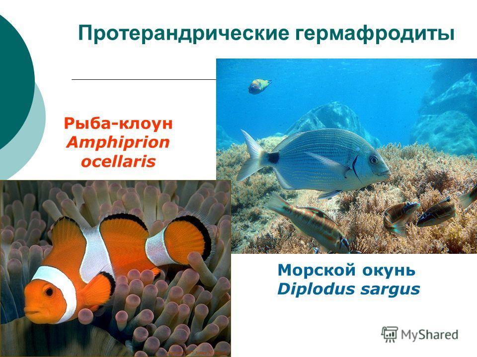 Протерандрические гермафродиты Морской окунь Diplodus sargus Рыба-клоун Amphiprion ocellaris