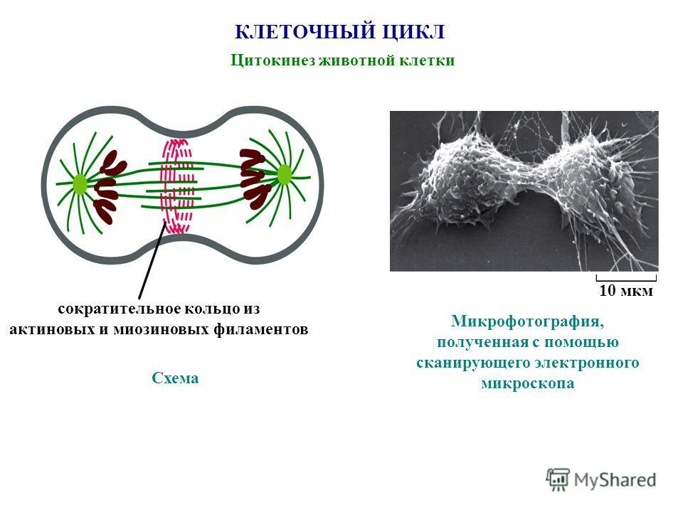 КЛЕТОЧНЫЙ ЦИКЛ Цитокинез животной клетки Схема сократительное кольцо из актиновых и миозиновых филаментов Микрофотография, полученная с помощью сканирующего электронного микроскопа 10 мкм