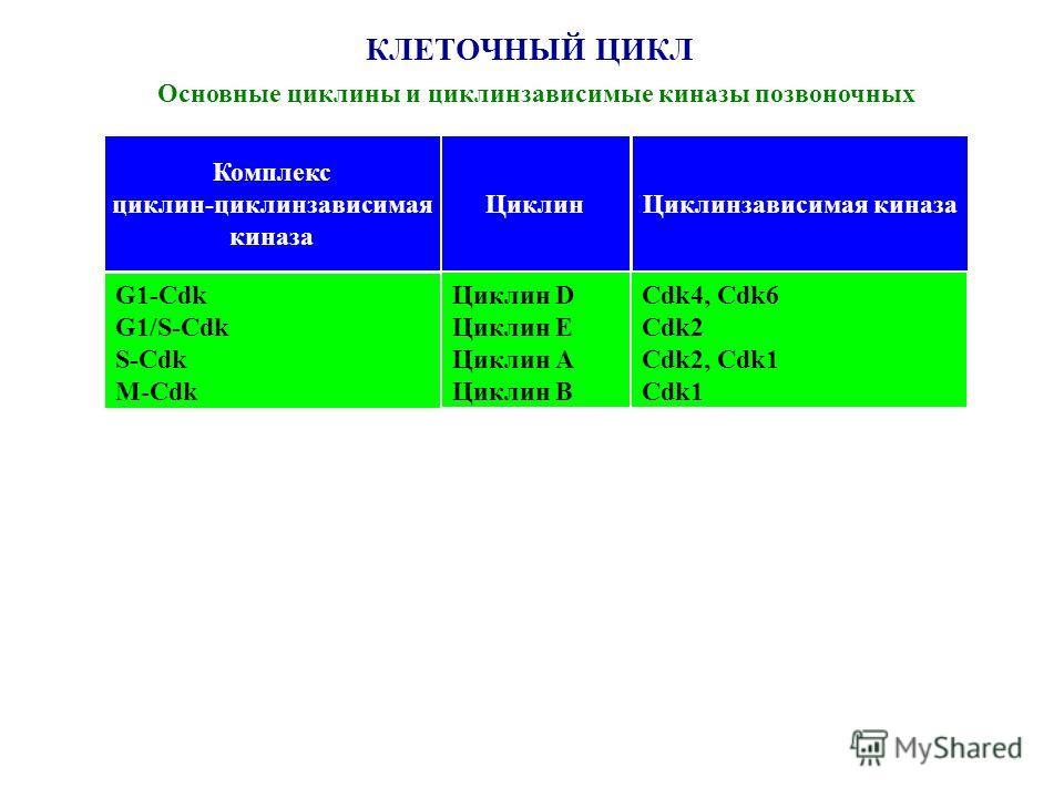 КЛЕТОЧНЫЙ ЦИКЛ Основные циклины и циклинзависимые киназы позвоночных Комплекс циклин-циклинзависимая киназа ЦиклинЦиклинзависимая киназа G1-Cdk G1/S-Cdk S-Cdk M-Cdk Циклин D Циклин E Циклин А Циклин В Cdk4, Cdk6 Cdk2 Cdk2, Cdk1 Cdk1
