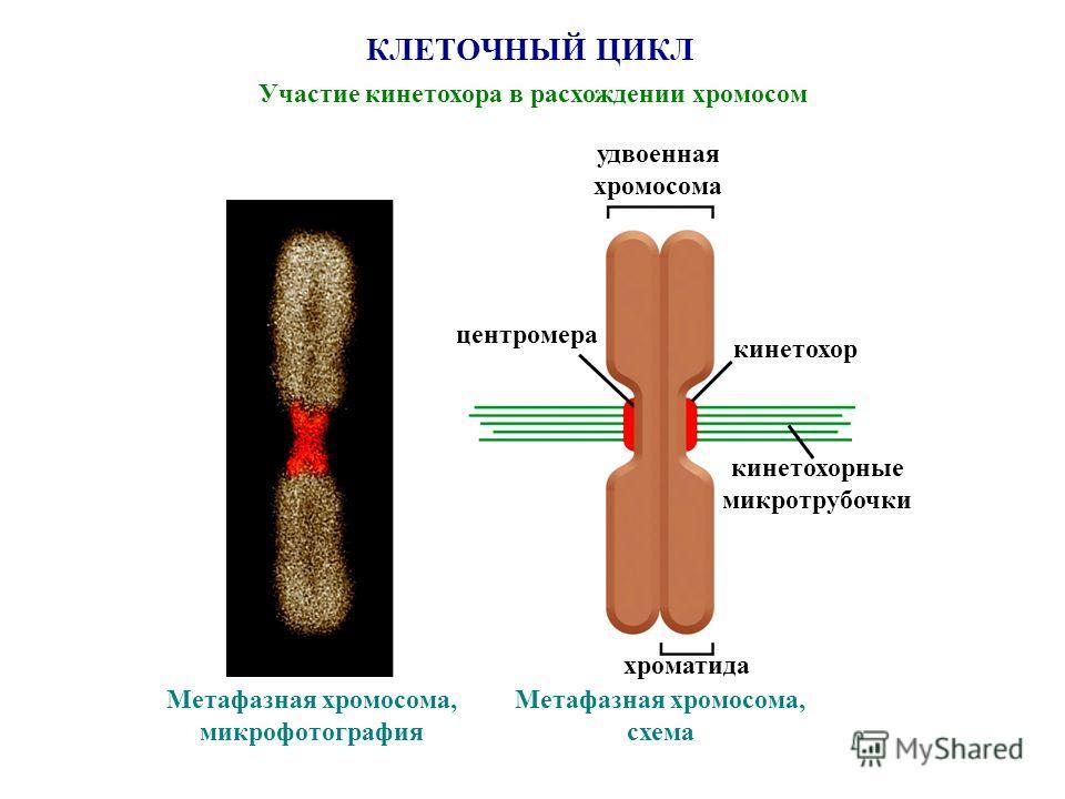 КЛЕТОЧНЫЙ ЦИКЛ Участие кинетохора в расхождении хромосом удвоенная хромосома кинетохор кинетохорные микротрубочки хроматида центромера Метафазная хромосома, микрофотография Метафазная хромосома, схема