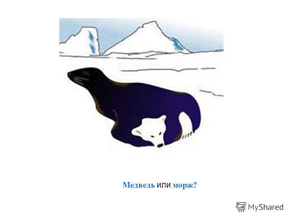 Медведь или морж?