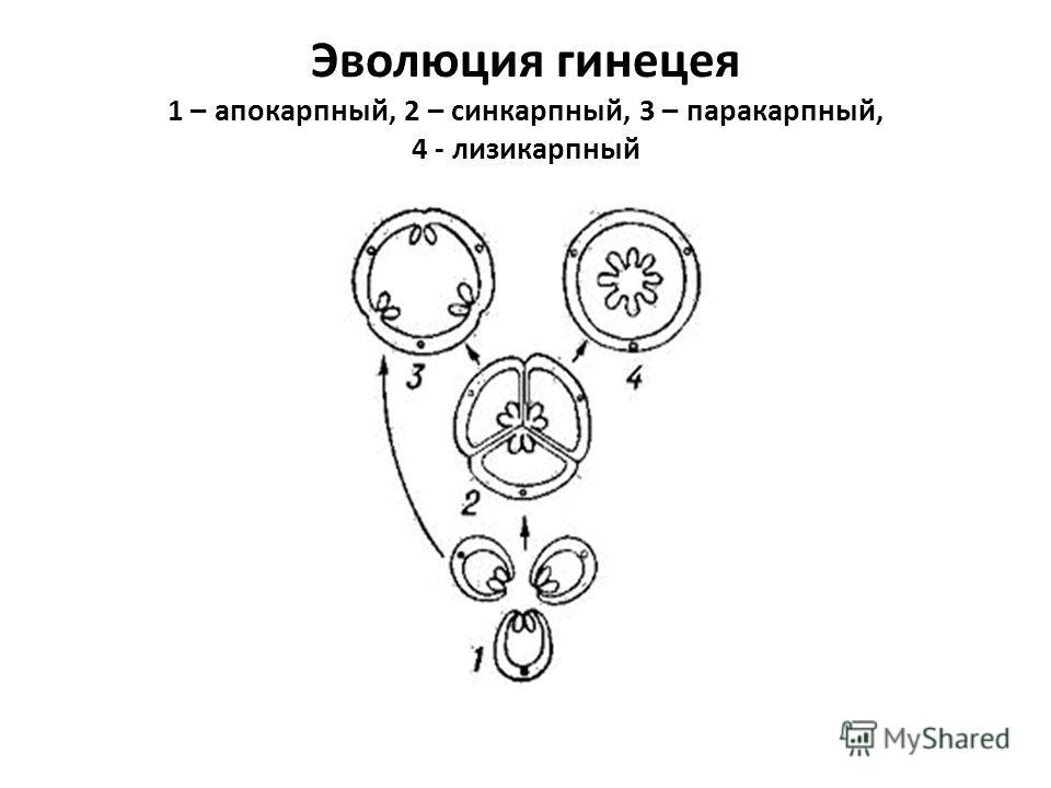 Эволюция гинецея 1 – апокарпный, 2 – синкарпный, 3 – паракарпный, 4 - лизикарпный