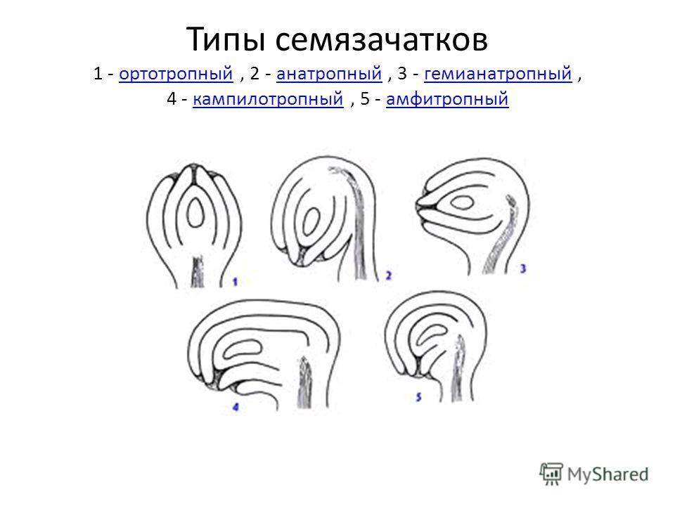 Типы семязачатков 1 - ортотропный, 2 - анатропный, 3 - гемианатропный, 4 - кампилотропный, 5 - амфитропныйортотропныйанатропныйгемианатропныйкампилотропныйамфитропный