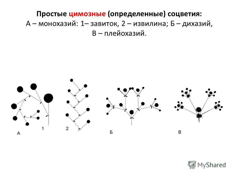 Простые цимозные (определенные) соцветия: А – монохазий: 1– завиток, 2 – извилина; Б – дихазий, В – плейохазий.