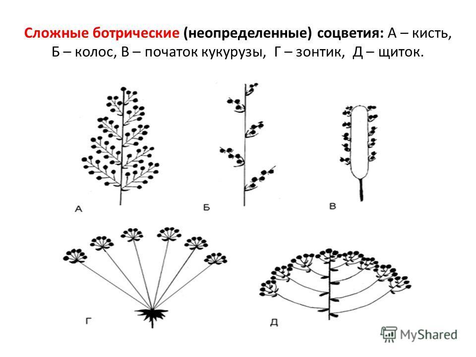 Сложные ботрические (неопределенные) соцветия: А – кисть, Б – колос, В – початок кукурузы, Г – зонтик, Д – щиток.