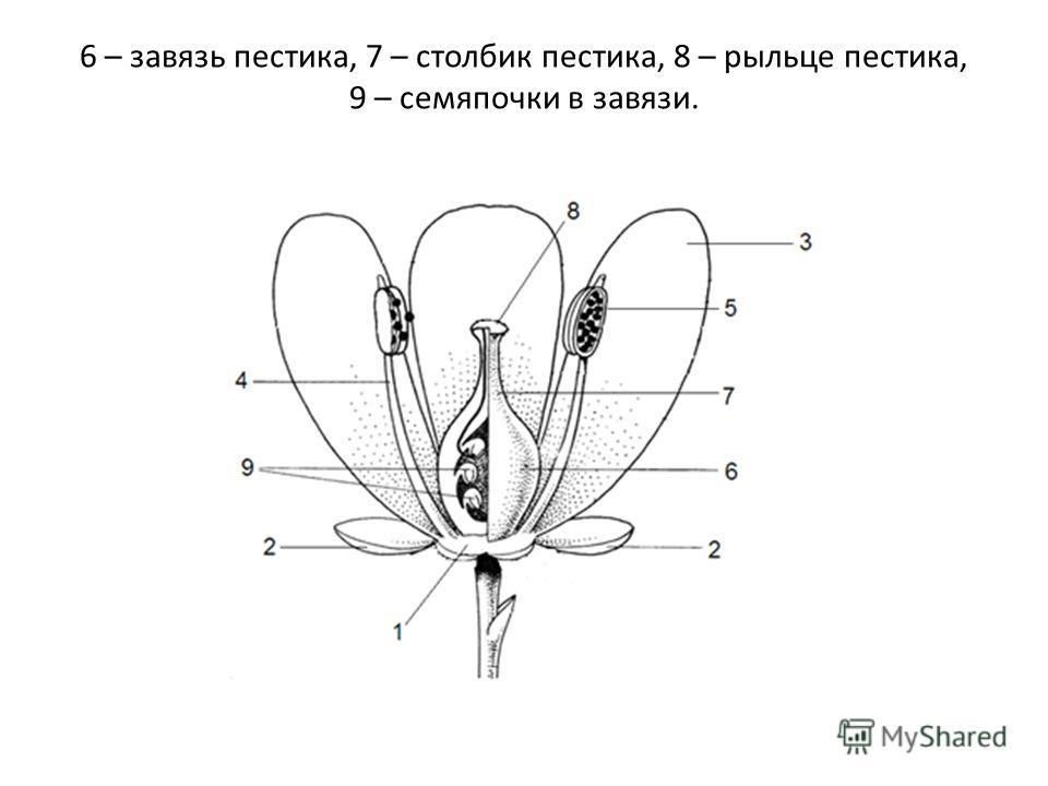 6 – завязь пестика, 7 – столбик пестика, 8 – рыльце пестика, 9 – семяпочки в завязи.