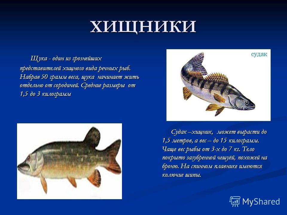 ХИЩНИКИ Щука - один из грознейших представителей хищного вида речных рыб. Набрав 50 грамм веса, щука начинает жить отдельно от сородичей. Средние размеры от 1,5 до 3 килограмм Щука - один из грознейших представителей хищного вида речных рыб. Набрав 5