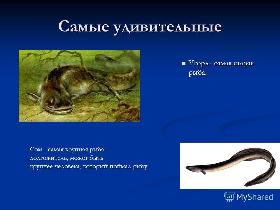 Самые удивительные Угорь - самая старая рыба. Угорь - самая старая рыба. Сом - самая крупная рыба- долгожитель, может быть крупнее человека, который поймал рыбу