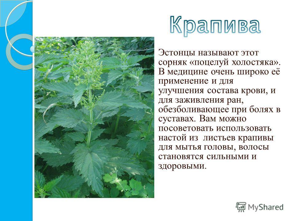 Эстонцы называют этот сорняк «поцелуй холостяка». В медицине очень широко её применение и для улучшения состава крови, и для заживления ран, обезболивающее при болях в суставах. Вам можно посоветовать использовать настой из листьев крапивы для мытья