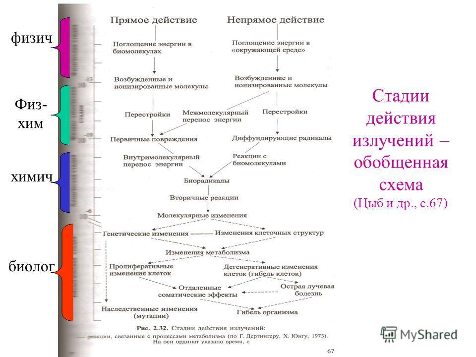 Стадии действия излучений – обобщенная схема (Цыб и др., с.67) физич Физ- хим химич биолог
