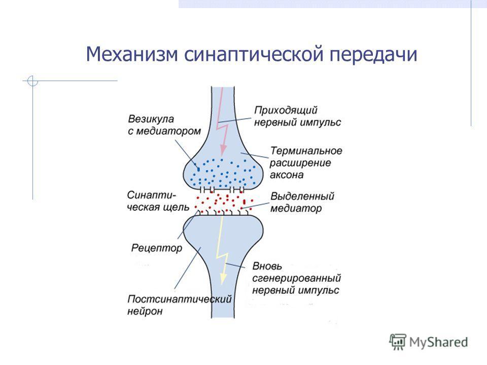Механизм синаптической передачи