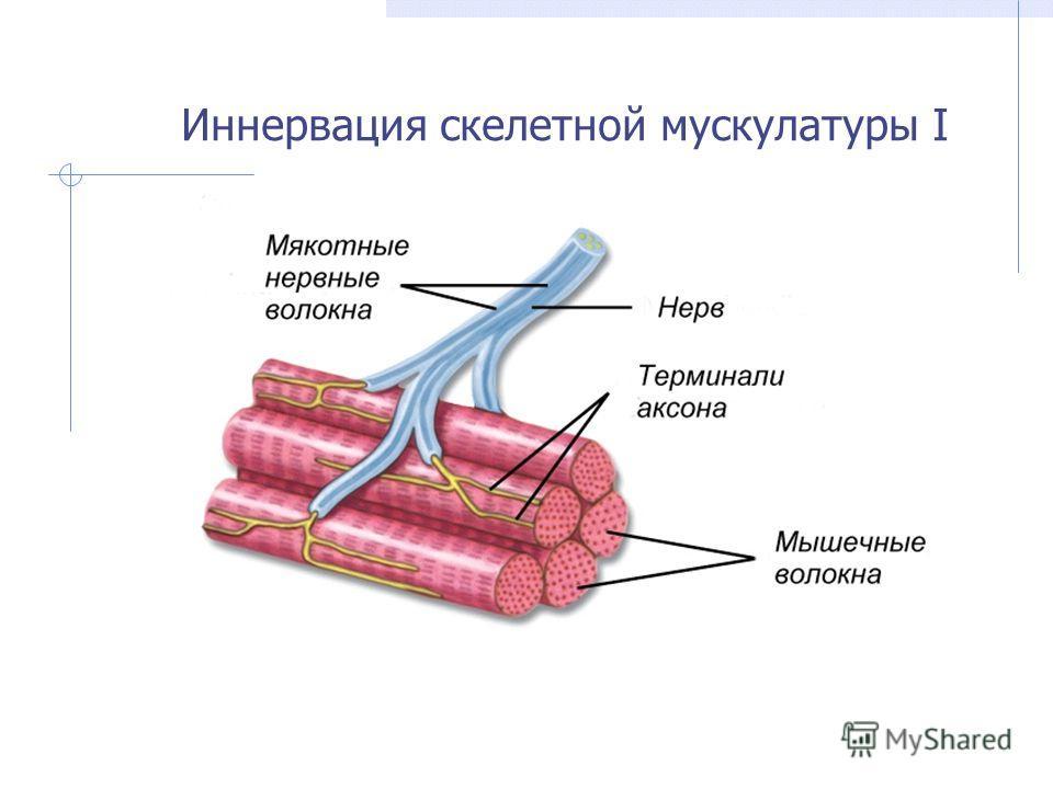 Иннервация скелетной мускулатуры I