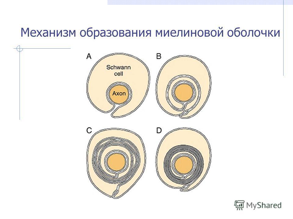 Механизм образования миелиновой оболочки