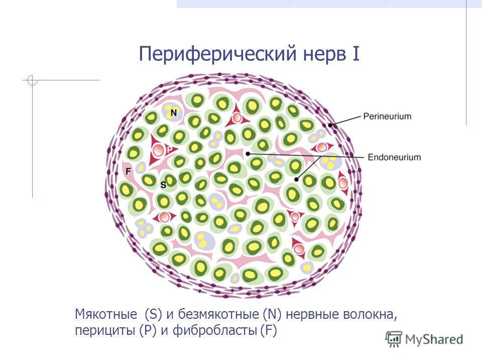 Периферический нерв I Мякотные (S) и безмякотные (N) нервные волокна, перициты (P) и фибробласты (F)