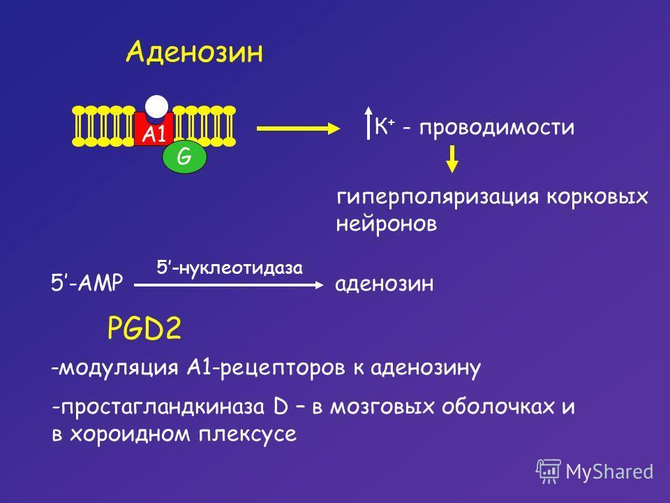 Аденозин G A1 К + - проводимости гиперполяризация корковых нейронов 5-AMP 5-нуклеотидаза аденозин PGD2 -модуляция А1-рецепторов к аденозину -простагландкиназа D – в мозговых оболочках и в хороидном плексусе