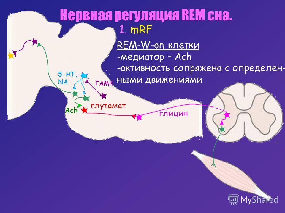 глицин 5-HT, NA ГАМК Ach глутамат Нервная регуляция REM сна. 1. mRF REM-W-on клетки -медиатор – Ach -активность сопряжена с определен- ными движениями