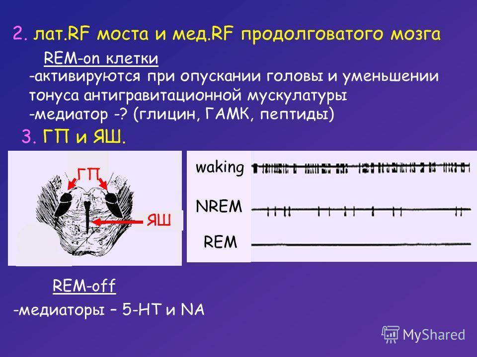2. лат.RF моста и мед.RF продолговатого мозга REM-on клетки -активируются при опускании головы и уменьшении тонуса антигравитационной мускулатуры -медиатор -? (глицин, ГАМК, пептиды) REM-off -медиаторы – 5-НТ и NA 3. ГП и ЯШ. ЯШ ГП waking NREM REM