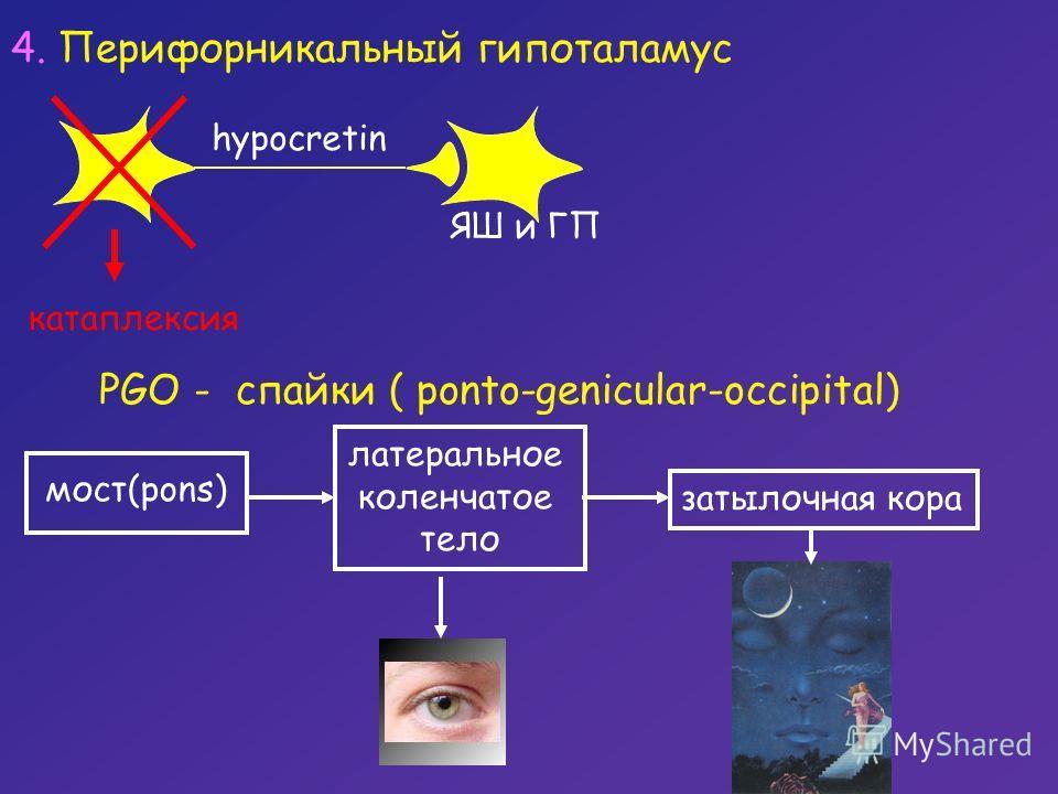 PGO - спайки ( ponto-genicular-occipital) мост(pons) латеральное коленчатое тело затылочная кора 4. Перифорникальный гипоталамус hypocretin ЯШ и ГП катаплексия