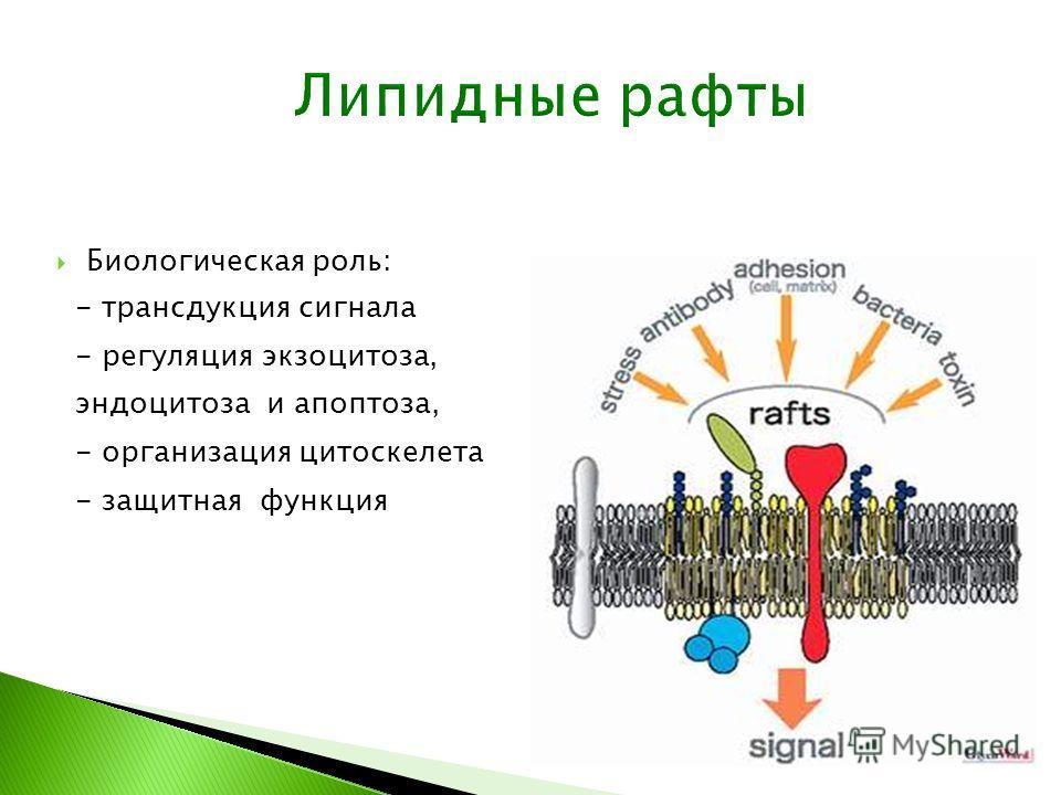 Биологическая роль: - трансдукция сигнала - регуляция экзоцитоза, эндоцитоза и апоптоза, - организация цитоскелета - защитная функция