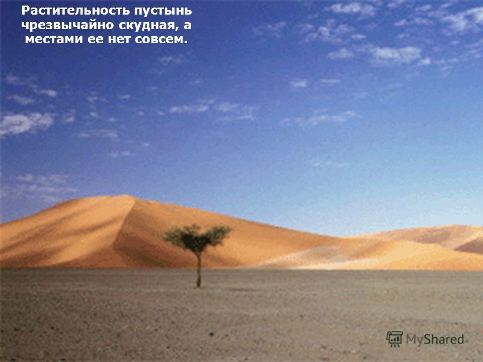 Растительность пустынь чрезвычайно скудная, а местами ее нет совсем.