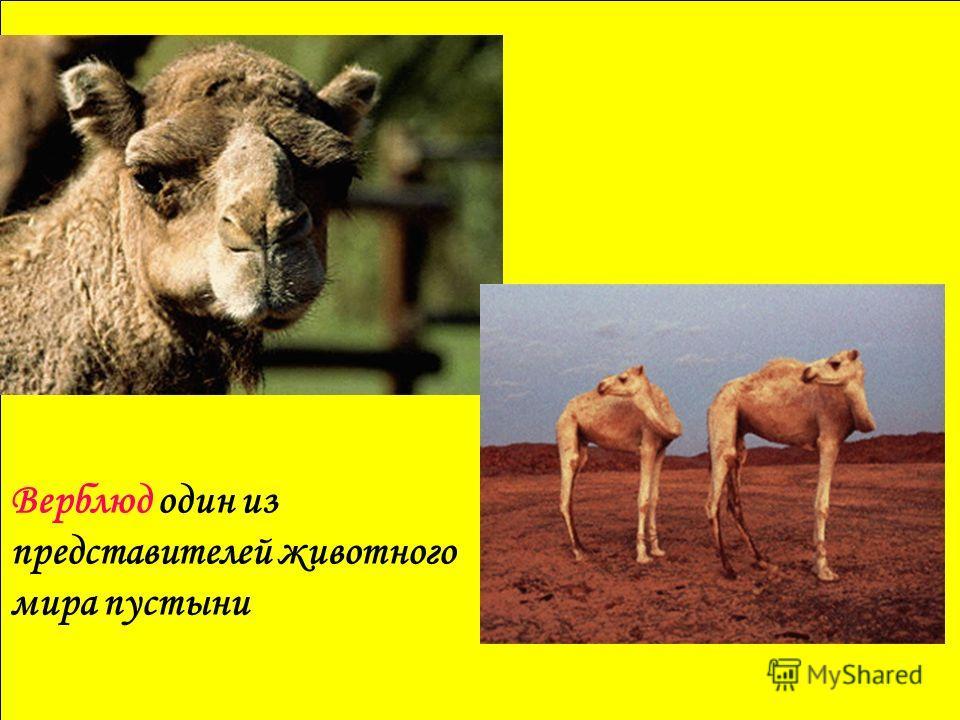 Верблюд один из представителей животного мира пустыни