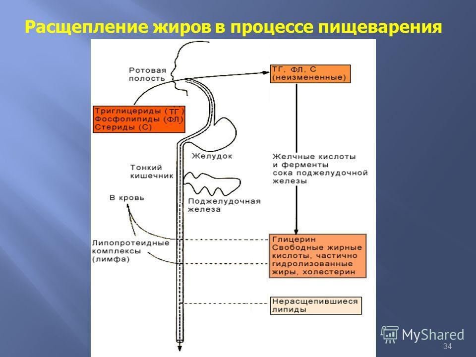 34 Расщепление жиров в процессе пищеварения