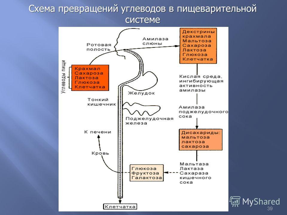 39 Схема превращений углеводов в пищеварительной системе