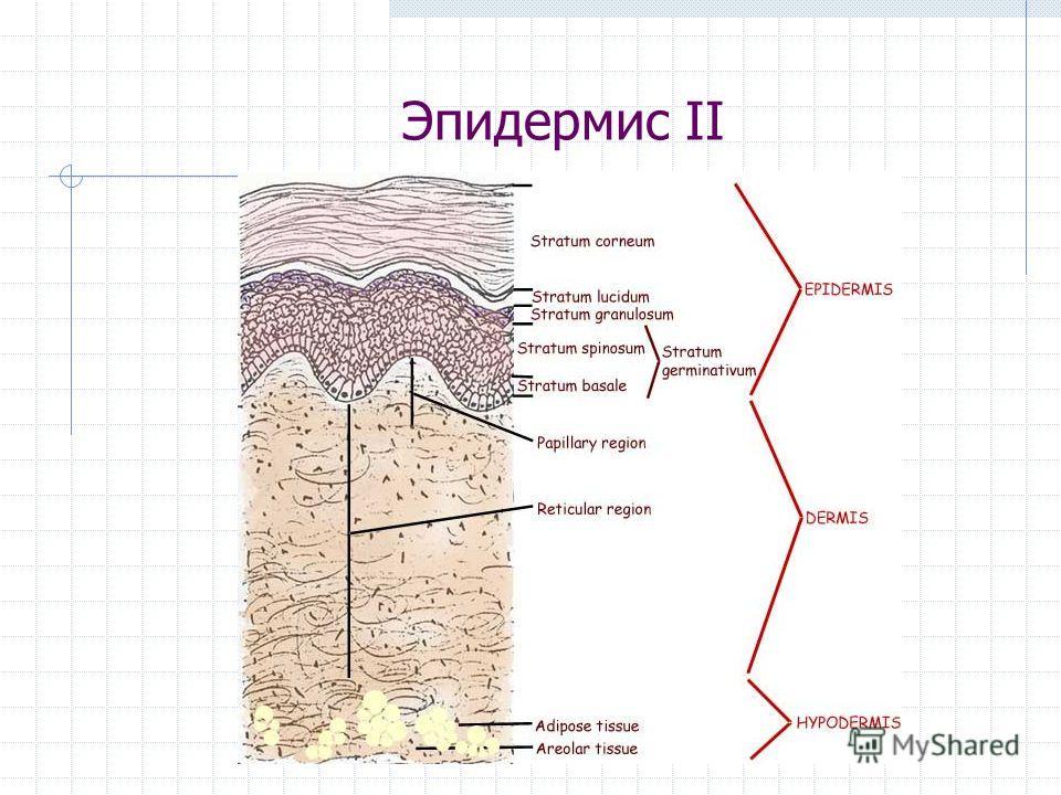 Эпидермис II