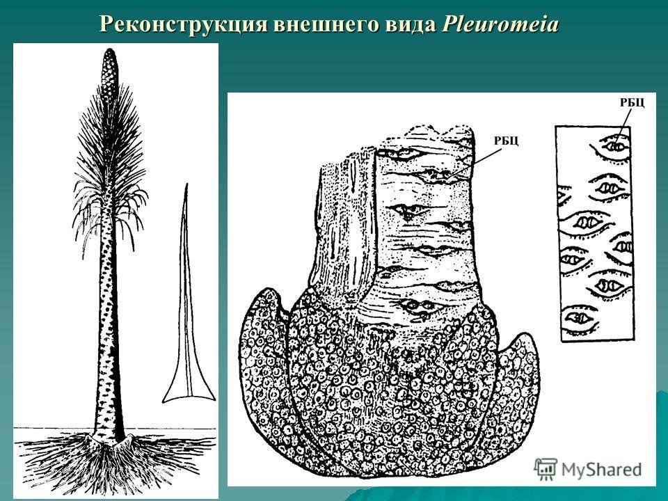 Реконструкция внешнего вида Pleuromeia