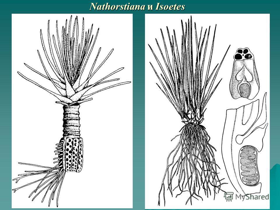 Nathorstiana и Isoetes