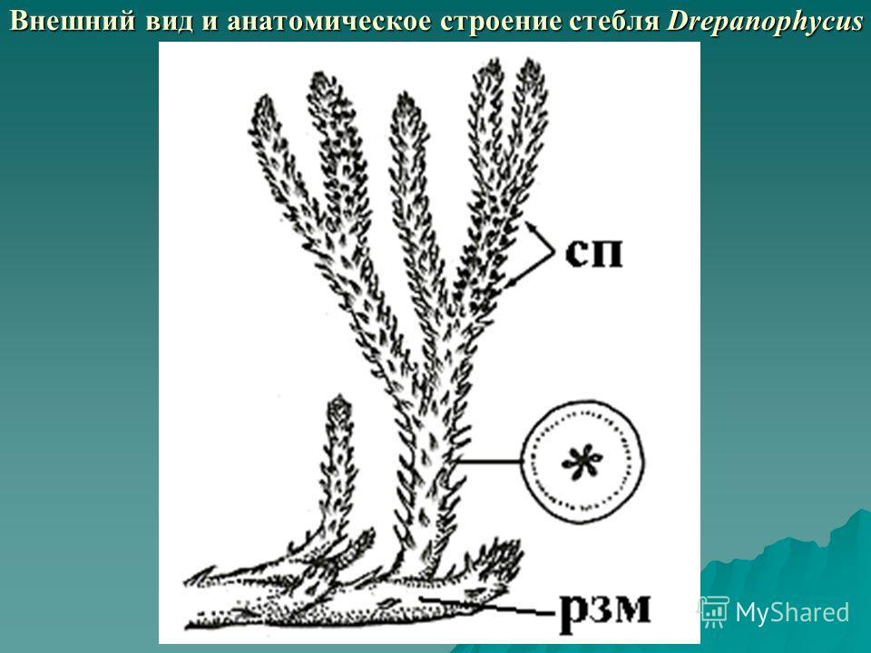 Внешний вид и анатомическое строение стебля Drepanophycus