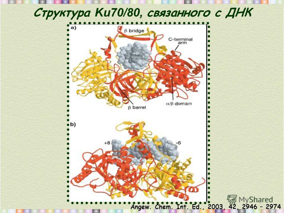 Структура Ku70/80, связанного с ДНК Angew. Chem. Int. Ed., 2003, 42, 2946 – 2974