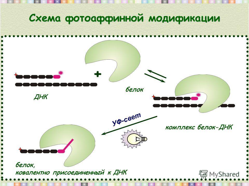 Схема фотоаффинной модификации белок ДНК комплекс белок-ДНК белок, ковалентно присоединенный к ДНК + УФ-свет