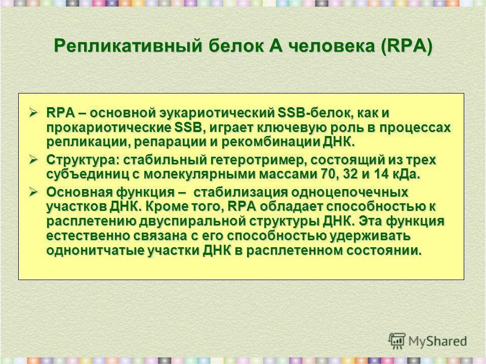 Репликативный белок А человека (RPA) RPA – основной эукариотический SSB-белок, как и прокариотические SSB, играет ключевую роль в процессах репликации, репарации и рекомбинации ДНК. RPA – основной эукариотический SSB-белок, как и прокариотические SSB