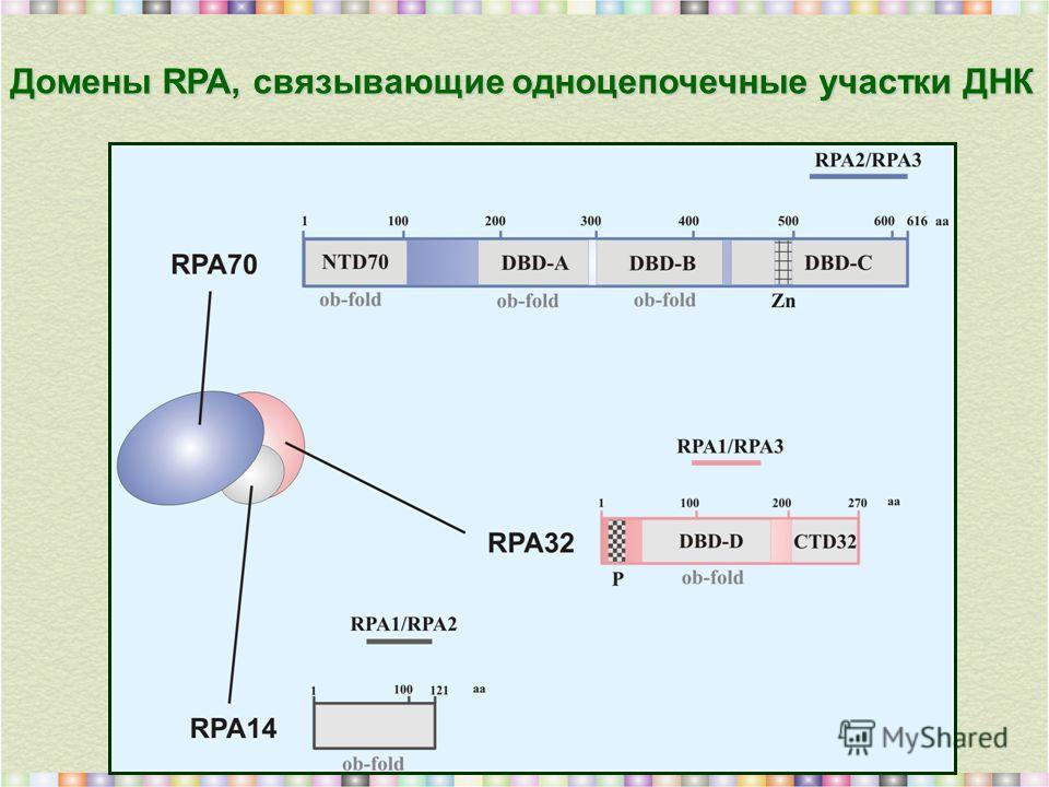 Домены RPA, связывающие одноцепочечные участки ДНК