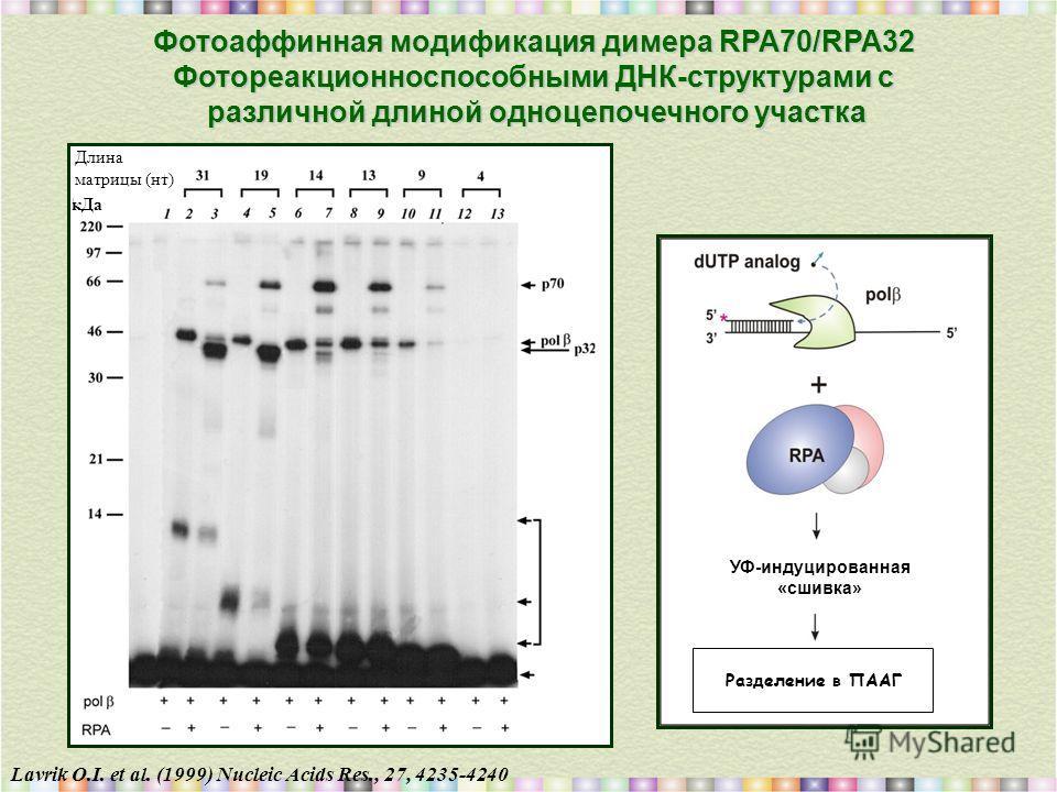 Lavrik O.I. et al. (1999) Nucleic Acids Res., 27, 4235-4240 Фотоаффинная модификация димера RPA70/RPA32 Фотореакционноспособными ДНК-структурами с различной длиной одноцепочечного участка Длина матрицы (нт) кДа УФ-индуцированная «сшивка» Разделение в