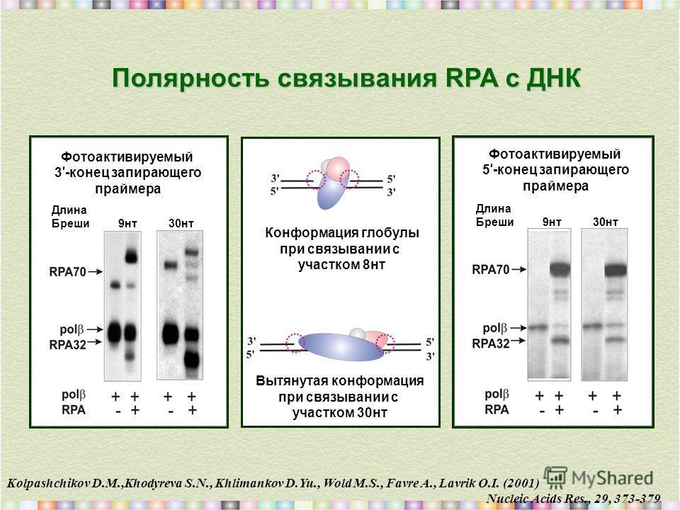 Kolpashchikov D.M.,Khodyreva S.N., Khlimankov D.Yu., Wold M.S., Favre A., Lavrik O.I. (2001) Nucleic Acids Res., 29, 373-379 Полярность связывания RPA с ДНК Конформация глобулы при связывании с участком 8нт Вытянутая конформация при связывании с учас
