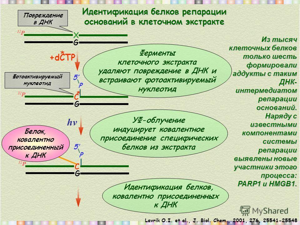 Lavrik O.I. et al., J. Biol. Chem., 2001, 276, 25541-25548 32 Р X G Ферменты клеточного экстракта удаляют повреждение в ДНК и встраивают фотоактивируемый нуклеотид УФ-облучение индуцирует ковалентное присоединение специфических белков из экстракта Ид
