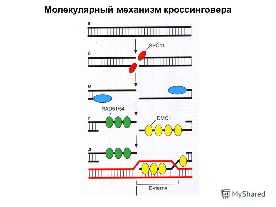 Молекулярный механизм кроссинговера