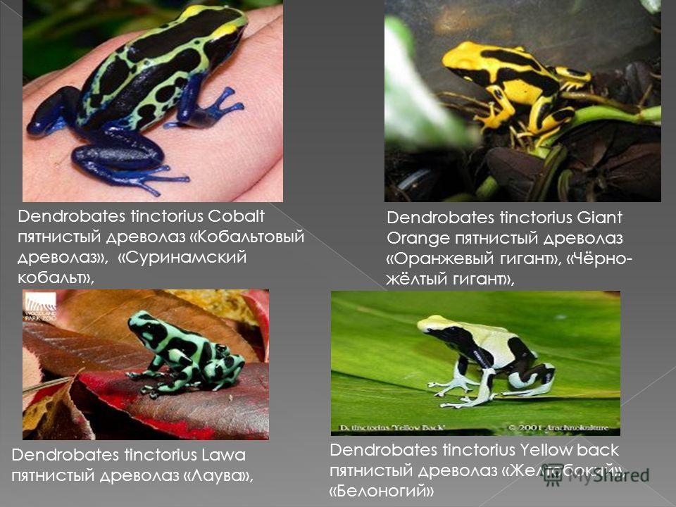 Dendrobates tinctorius Cobalt пятнистый древолаз «Кобальтовый древолаз», «Суринамский кобальт», Dendrobates tinctorius Giant Orange пятнистый древолаз «Оранжевый гигант», «Чёрно- жёлтый гигант», Dendrobates tinctorius Lawa пятнистый древолаз «Лаува»,