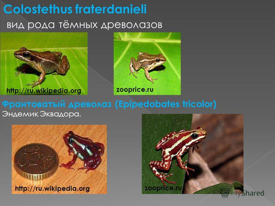 Colostethus fraterdanieli вид рода тёмных древолазов Франтоватый древолаз (Epipedobates tricolor) Эндемик Эквадора. zooprice.ru http://ru.wikipedia.org