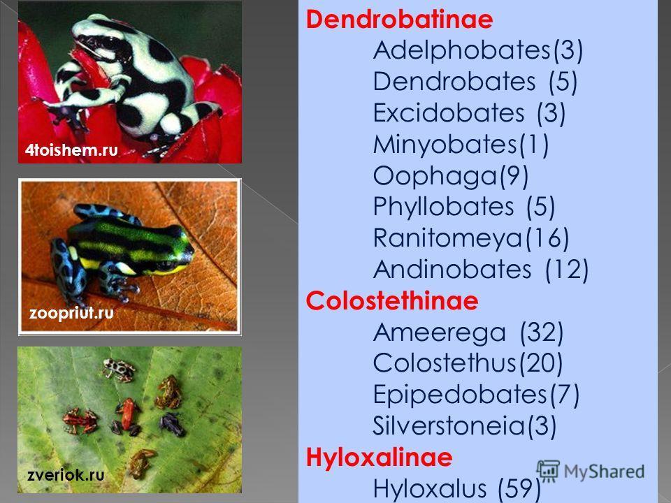 Dendrobatinae Adelphobates(3) Dendrobates (5) Excidobates (3) Minyobates(1) Oophaga(9) Phyllobates (5) Ranitomeya(16) Andinobates (12) Colostethinae Ameerega (32) Colostethus(20) Epipedobates(7) Silverstoneia(3) Hyloxalinae Hyloxalus (59) 4toishem.ru