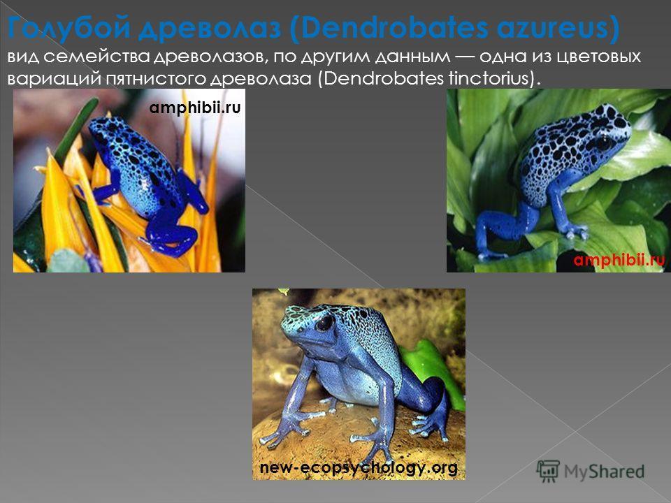 Голубой древолаз (Dendrobates azureus) вид семейства древолазов, по другим данным одна из цветовых вариаций пятнистого древолаза (Dendrobates tinctorius). new-ecopsychology.org amphibii.ru