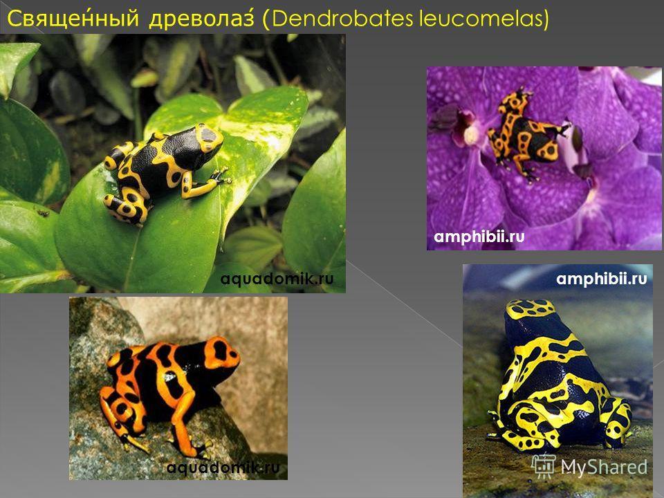 Священный древолаз (Dendrobates leucomelas) aquadomik.ru amphibii.ru