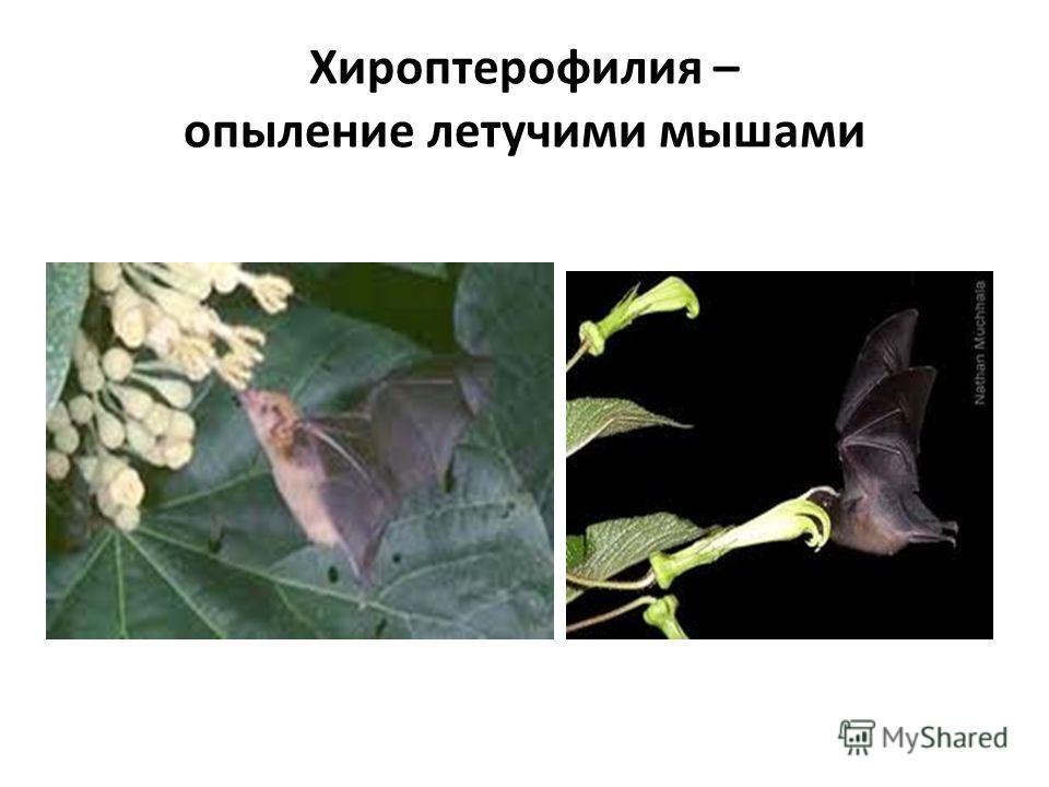 Хироптерофилия – опыление летучими мышами