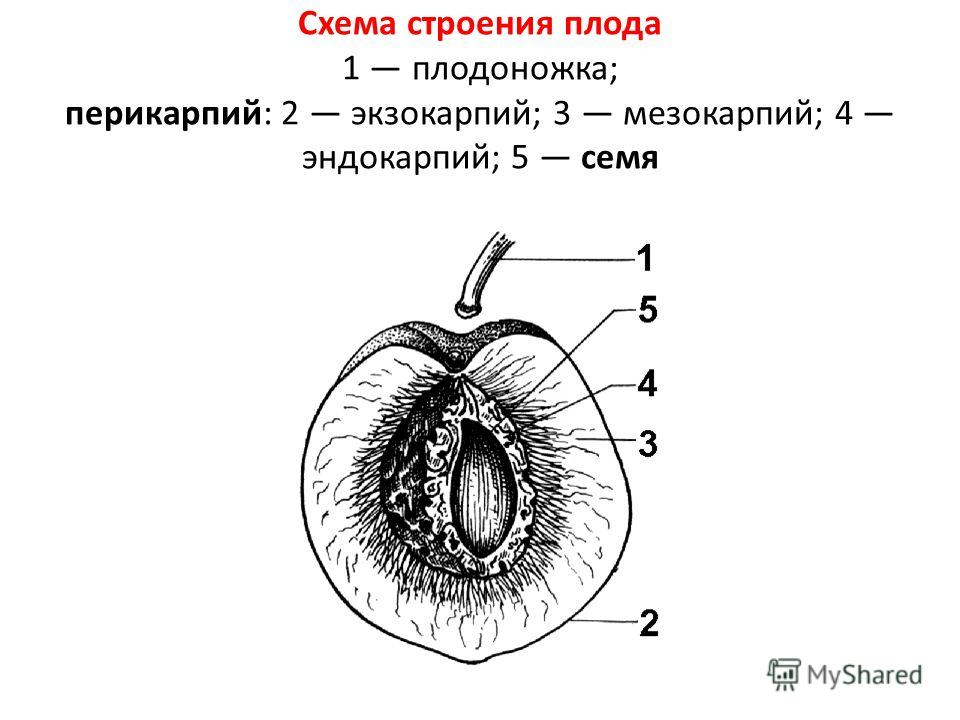 Схема строения плода 1 плодоножка; перикарпий: 2 экзокарпий; 3 мезокарпий; 4 эндокарпий; 5 семя