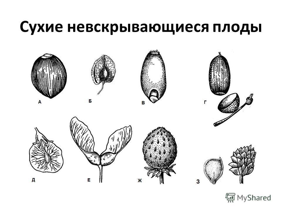 Сухие невскрывающиеся плоды