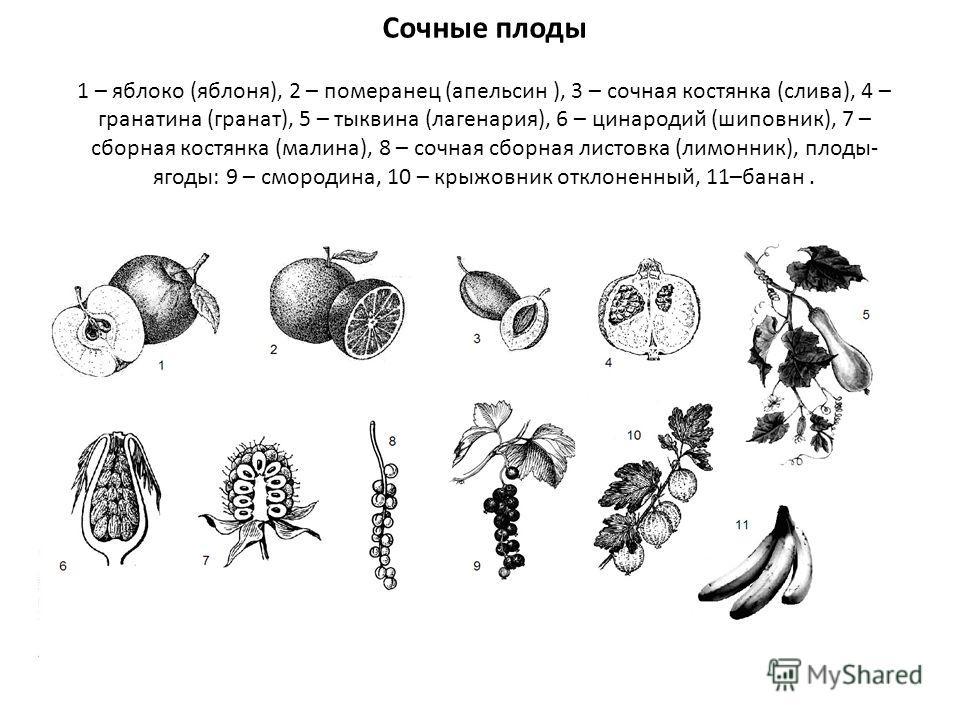 Сочные плоды 1 – яблоко (яблоня), 2 – померанец (апельсин ), 3 – сочная костянка (слива), 4 – гранатина (гранат), 5 – тыквина (лагенария), 6 – цинародий (шиповник), 7 – сборная костянка (малина), 8 – сочная сборная листовка (лимонник), плоды- ягоды: