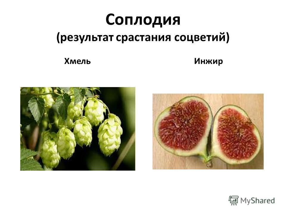 Соплодия (результат срастания соцветий) ХмельИнжир